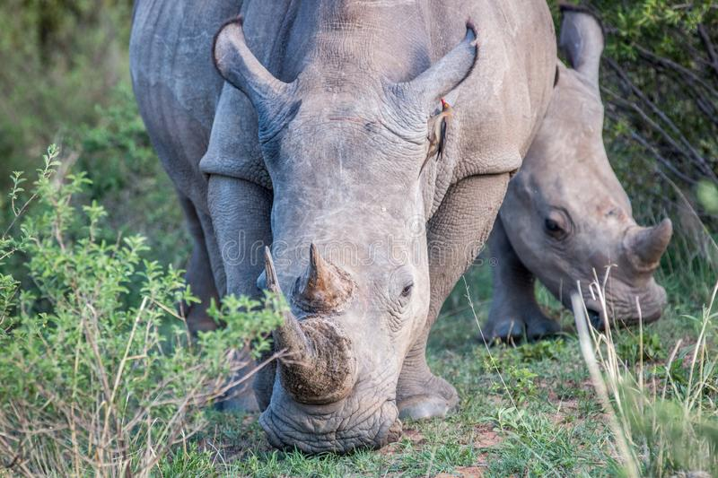 Close up of a White rhino in the grass. South Africa stock images