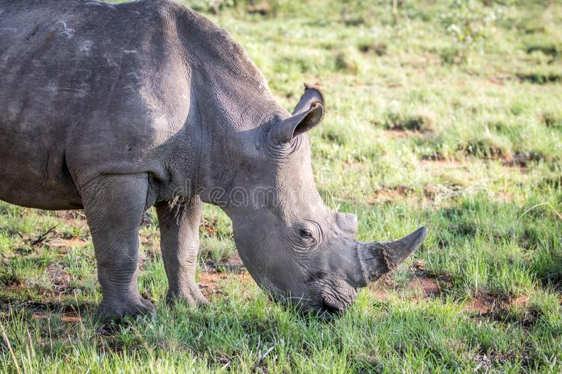 Close up of a White rhino grazing. South Africa royalty free stock photos