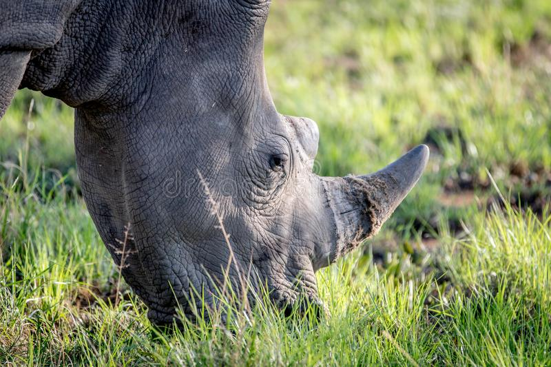 Close up of a White rhino grazing. South Africa stock photography