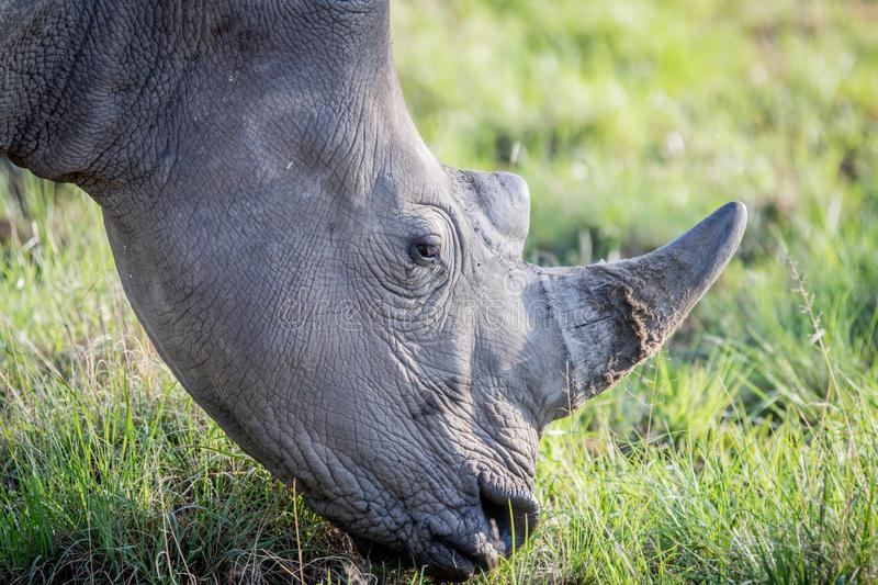 Close up of a White rhino grazing. South Africa stock image