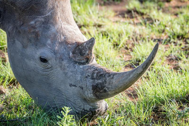 Close up of a White rhino grazing. South Africa royalty free stock photography