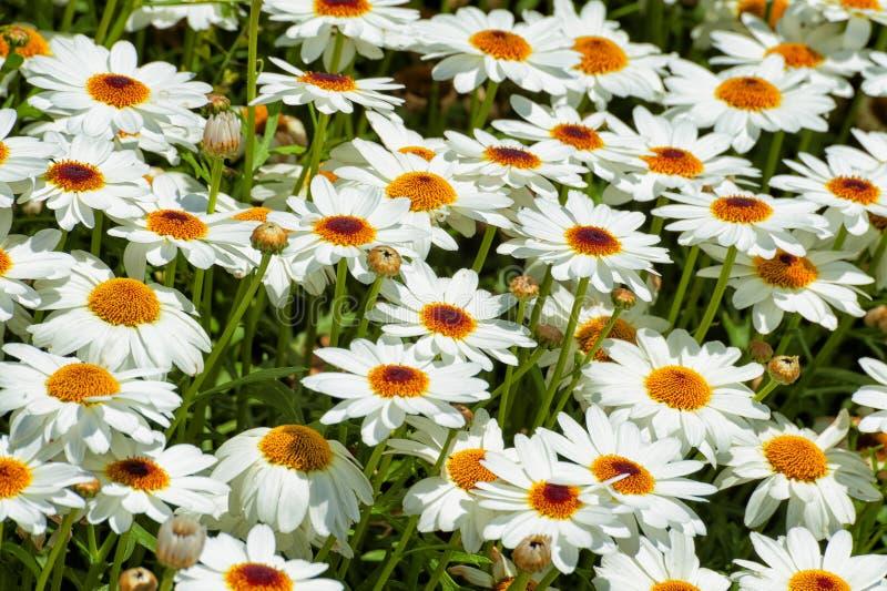 Close up of white shasta daisies stock photo