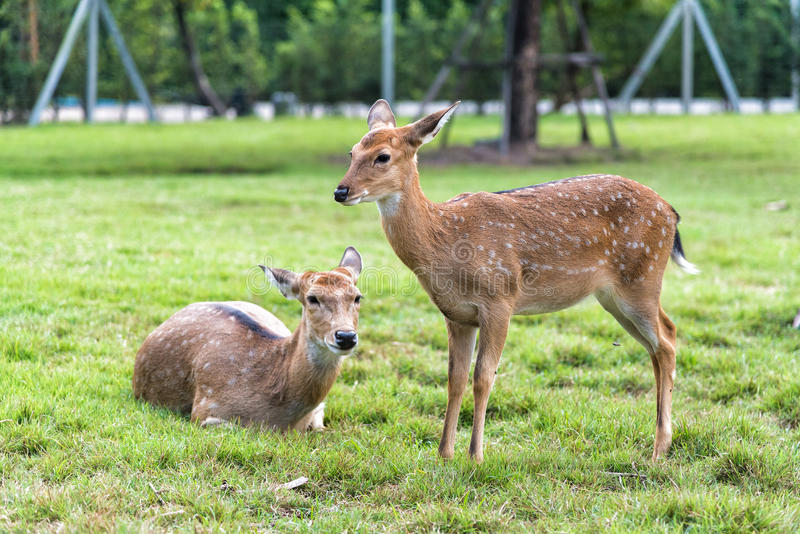 Close up of white spot deer on green grass. Close up of white spot deers on green grass royalty free stock images