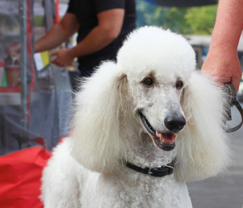 Close up of White Standard Poodle. Dog royalty free stock images