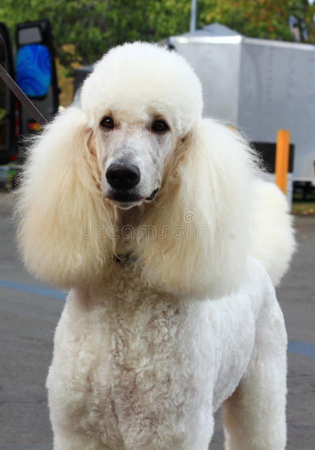 Close up of White Standard Poodle. Dog royalty free stock image