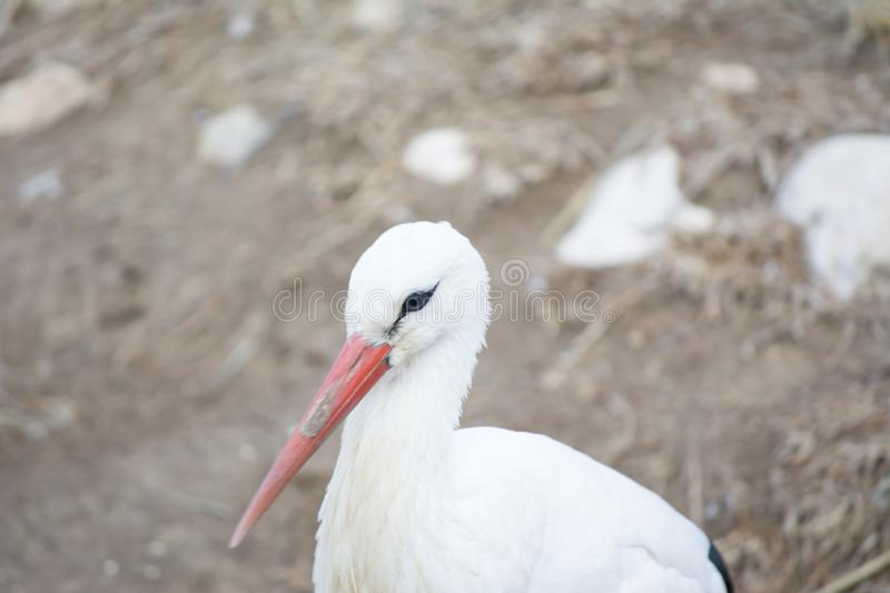 A close-up of a white stork in zoo. Animal beak bill bird black ciconia fauna feather nature nest grass green red summer wild wildlife wing adult beautiful stock photos