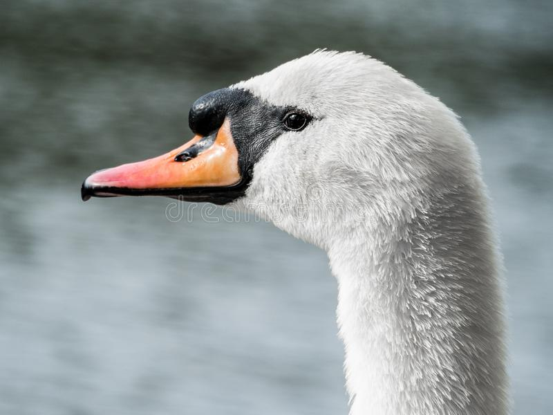 White Swan Close-Up 01 royalty free stock images