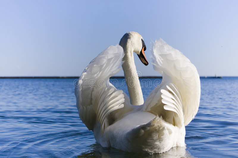 Close up of white swan spreading wings stock images