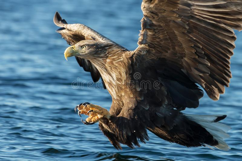 White-tailed sea Eagle in flight with the powerful claws catching a fish stock photography