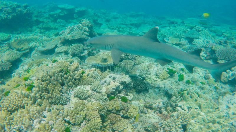 Close up of a white tipped shark on a reef at heron island stock photos