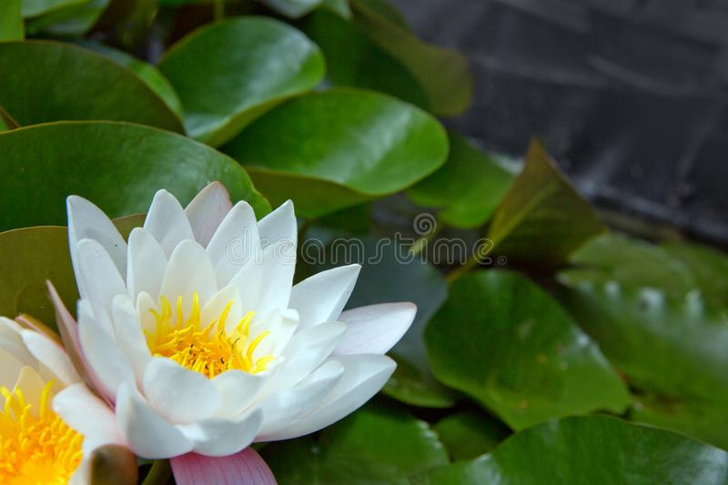Close up on white water lilies on the lake. A beautiful big white water lilies lotus flower in pond royalty free stock photos