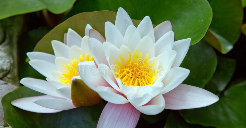 Close up on white water lilies on the lake. A beautiful big white water lilies lotus flower in pond stock photography