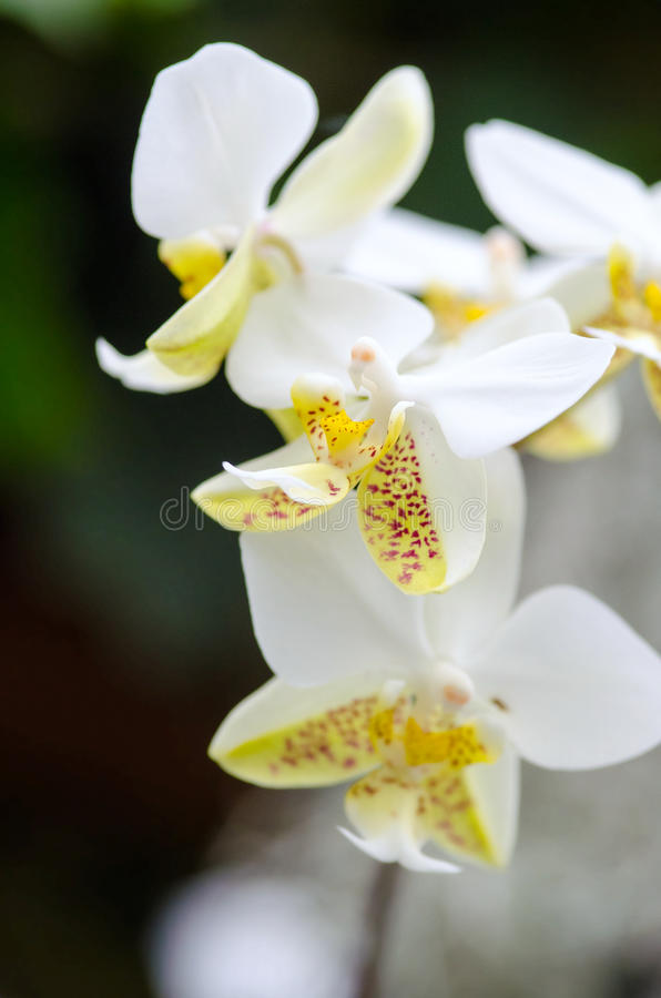 Close-up of white yellow orchid. Bouquet of flowers orchids. Close up of white yellow orchid royalty free stock photography