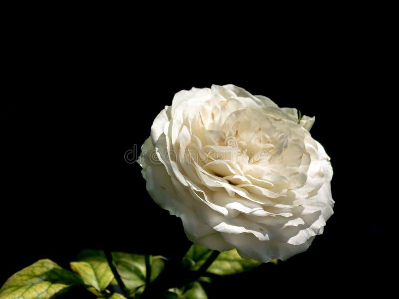Close up of whitel rose stock images
