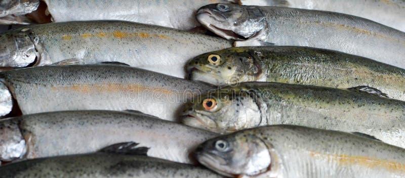 Whole fresh trout fish stock image