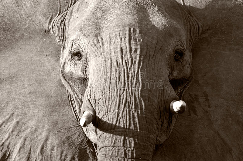 Close up of a Wild African Elephant stock image