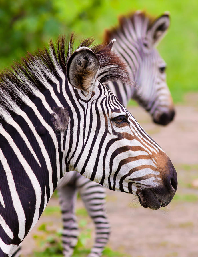 Close up of a wild African Zebra stock image