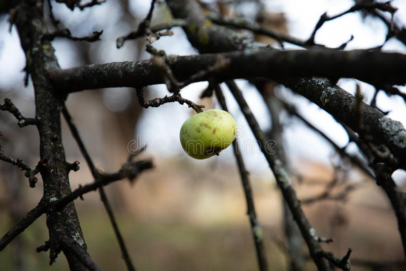 Close up of a wild apple hanging on a nude tree royalty free stock photography