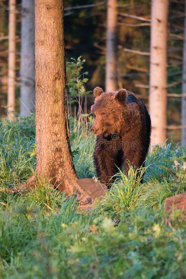 A brown bear in the forest. Big Brown Bear. Bear sits on a rock. Ursus arctos. Close up wild, big Brown Bear, Ursus arctos, male on the bank of lake, staring stock image