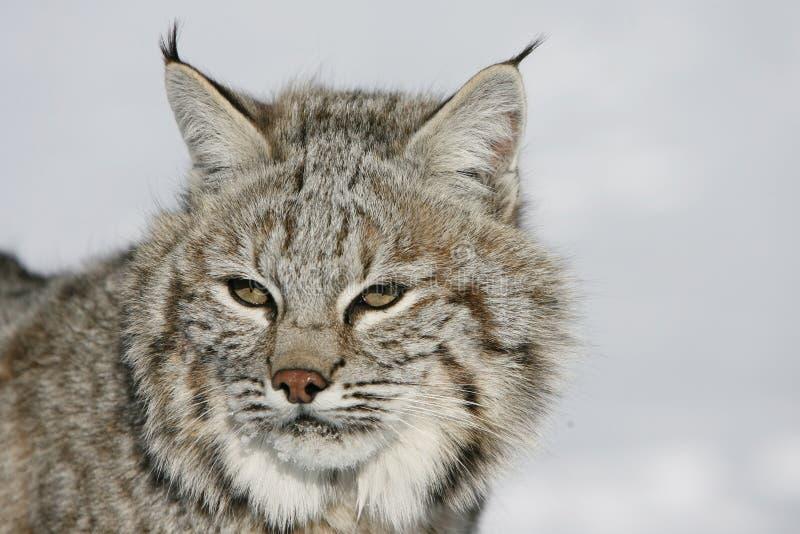 Close Up Of A Wild Bobcat Stock Image
