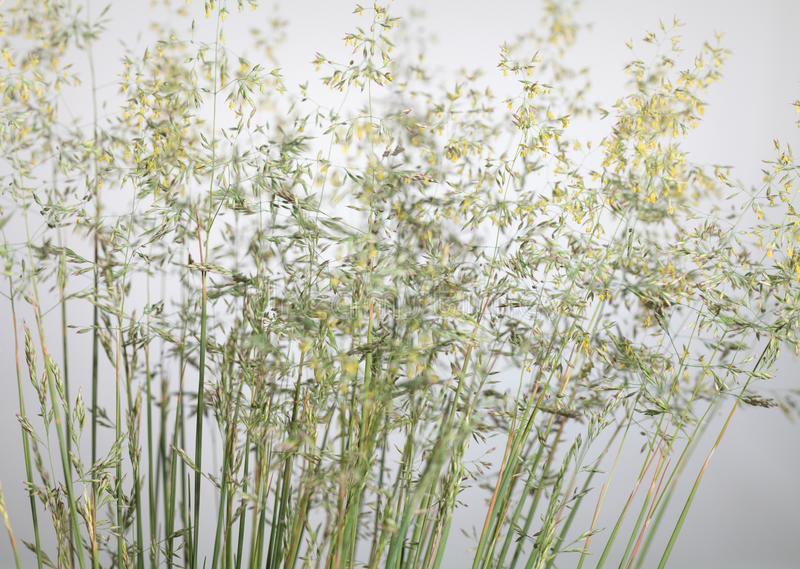 Poa annua bloom. Close-up of wild cereal grass fescue bloom over panicles background royalty free stock photography