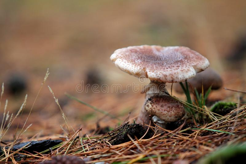 Wild mushroom on the forest floor stock images