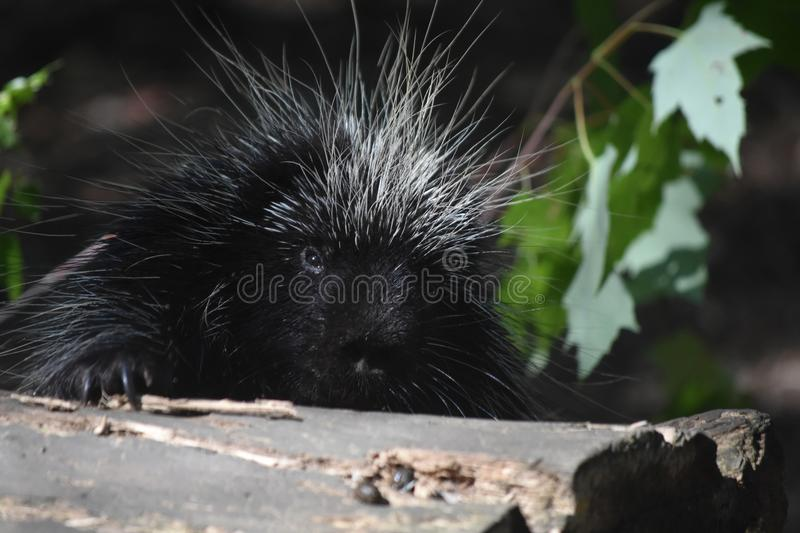 Close up on a wild porcupines face while its climbing over a log royalty free stock photo