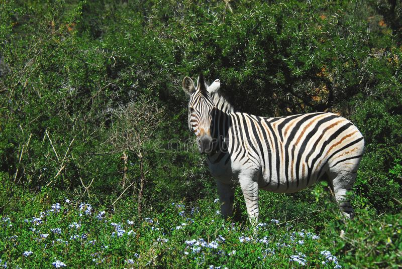 Close up of a wild Zebra feeding on blue wildflowers. Photographed while on safari in South Africa. Photographed while on safari in South Africa. Close up of a royalty free stock photography