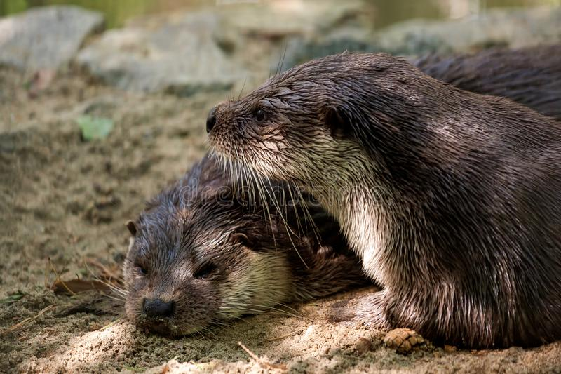 Two brown otters. A close-up will erase two brown otters on the shore near the river, one is asleep, and the second blubber looks into the camera royalty free stock image