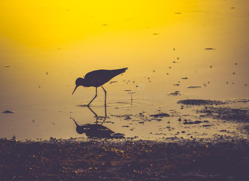 Willet in the Evening Golden Light. A close up of a willet feeding at the edge of the Guano River in Florida as the evening light reflects in the water royalty free stock photo