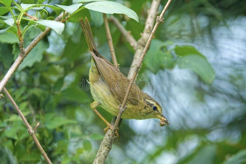 Willow warbler stock image