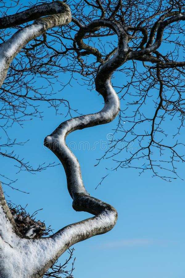Close up of a wind blown snow covered twisted contorted branch of a tree against a blue sky royalty free stock photos