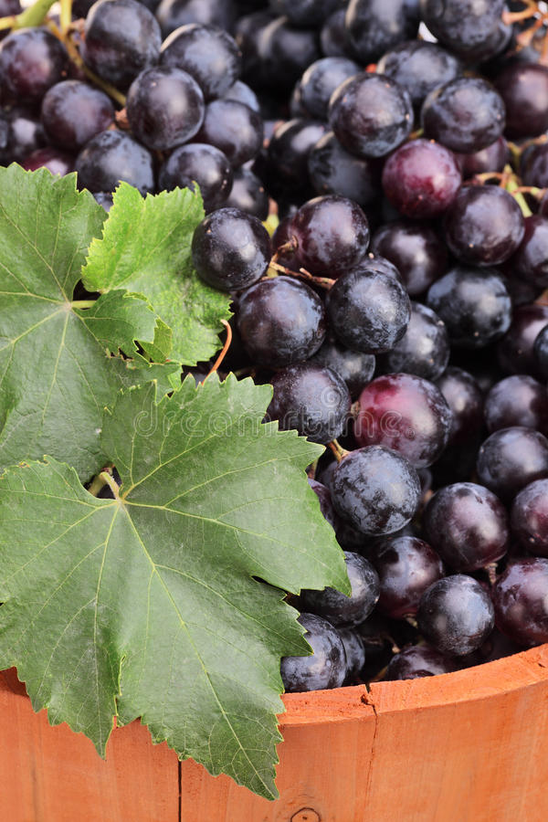 Close-up of wine grapes in a barrel royalty free stock photo