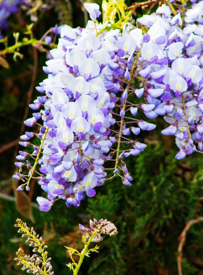 Close up of Wisteria `Blue Moon` in bloom. Cluster of blue flowers climbing and hanging over the fence. royalty free stock photos