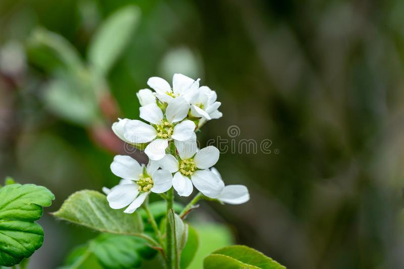 Close-up witte bloesems van Amelanchier-canadensis, serviceberry, shadberry of Juneberry-vage boom op groen royalty-vrije stock fotografie