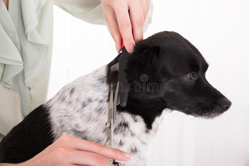 Close-up Of Woman Cutting Hair Of Her Dog royalty free stock photo