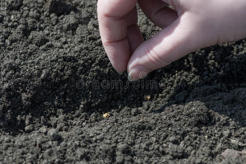 .Close-up of a woman farmer`s hand, she plants beet seeds in the furrow beds in the garden. Close-up of a woman farmer`s hand, she plants beet seeds in the royalty free stock photography