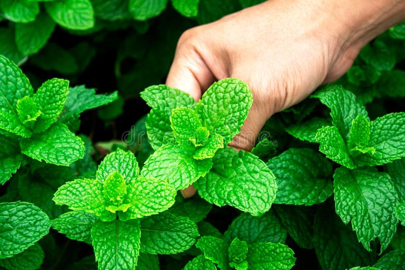 Close-up Woman hand picking of peppermints growing in a greenhouse  in summer day. Selective focus. Woman hand picking of peppermints growing in a greenhouse  in stock image