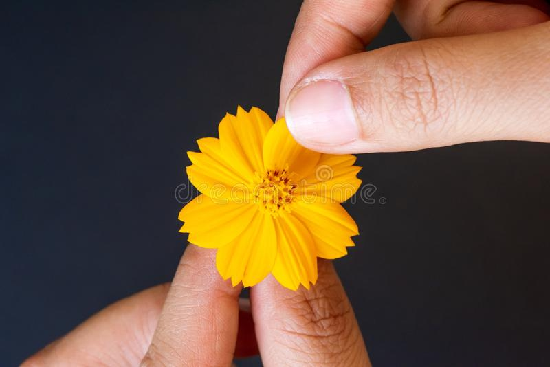 Close up woman hand tears off petals of yellow daisy flower stock photography