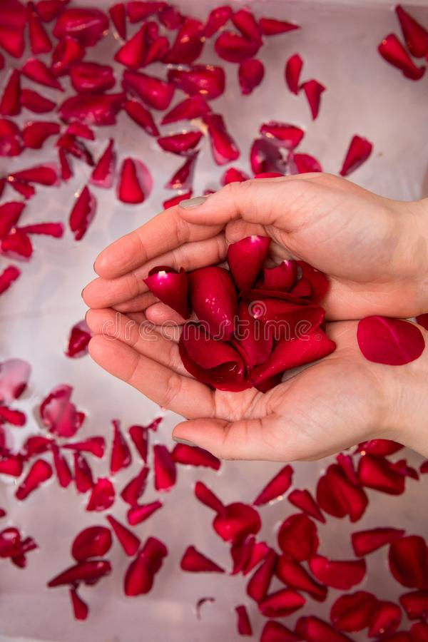 Valentines day surprise, close up woman holding red rose petals in hands,selfcare homespa royalty free stock photo