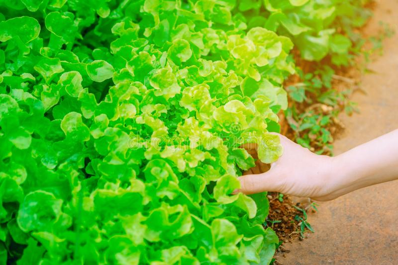 Close up woman`s hand holds a fresh green lettuce on a organic vegetable farm. Concepts for health food products and organic prod stock photo