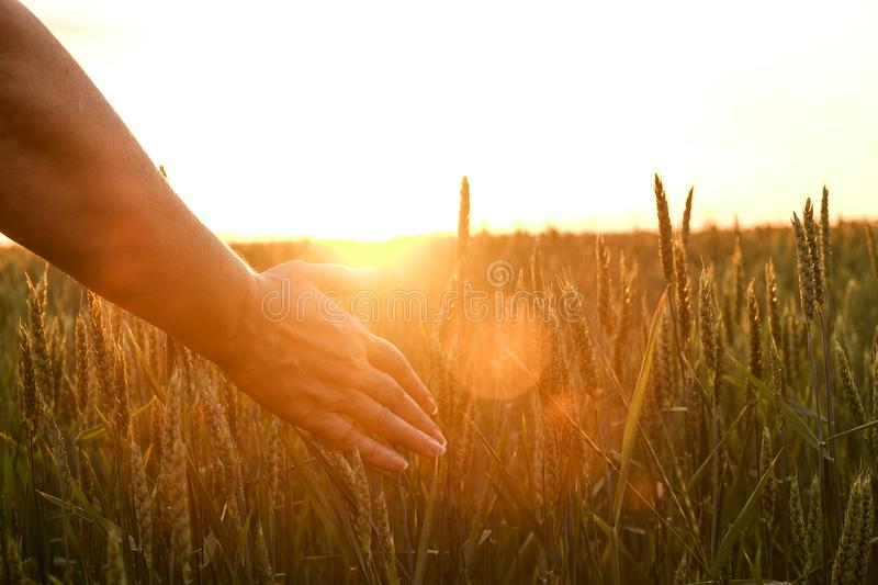 Close up of woman`s hand touching grain spica, green wheat ear on large cultivation field, soft orange sunset light, clear sky, h. Orizon, sunbeam filter, glare royalty free stock photos