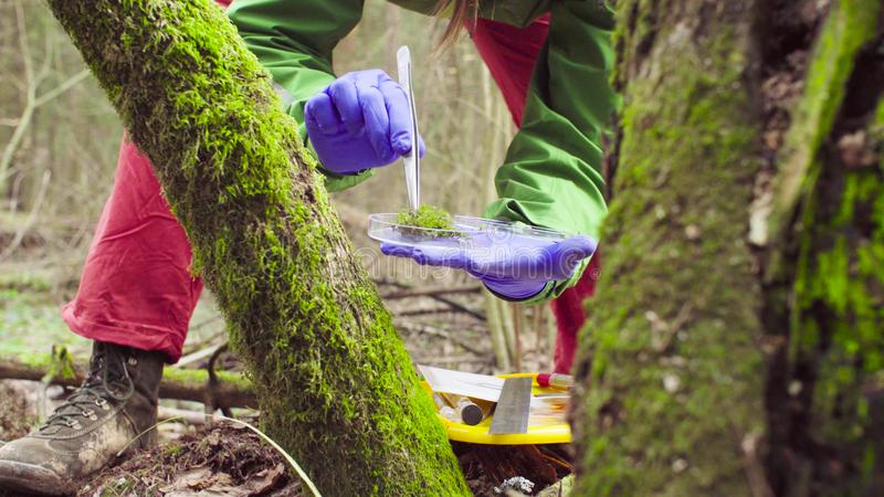Scientist ecologist in the forest taking samples of plants. Close up woman`s hands in protective gloves. Scientist ecologist in the forest taking samples of the stock photos