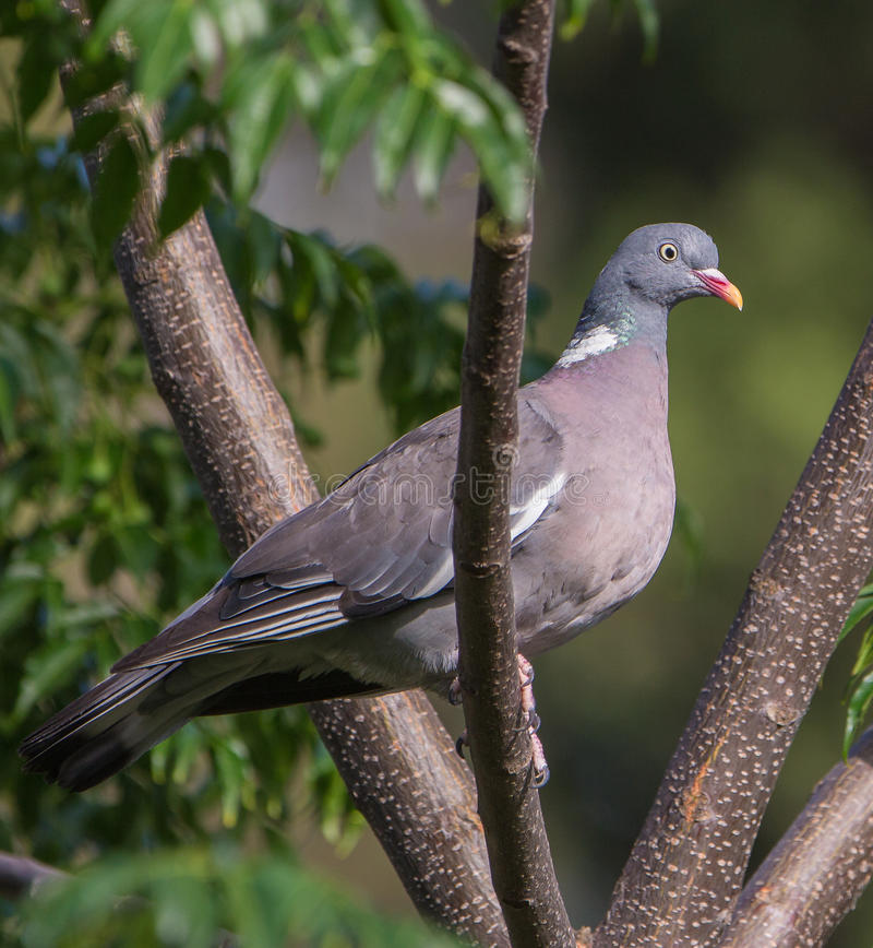 Close-up of a Wood Pigeon. A close-up of this Common Wood Pigeon (Columba palumbus) shows the beautiful iridescent metallic colors of it's plumage royalty free stock photo