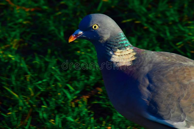 Close up of a wood pigeon royalty free stock image