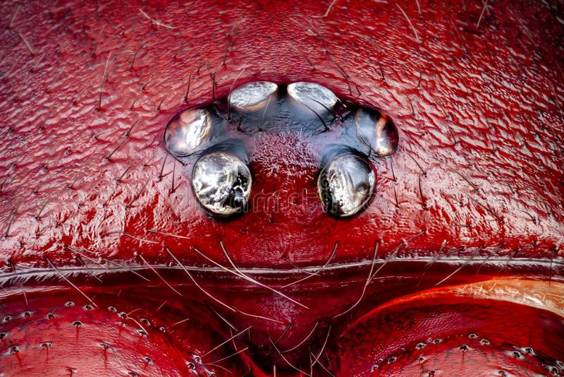 Close-up of a Woodlouse Hunter male spider head. Extreme macro of a Woodlouse Hunter male spider head and eyes Dysdera crocata magnified 10 times. Real life stock photo