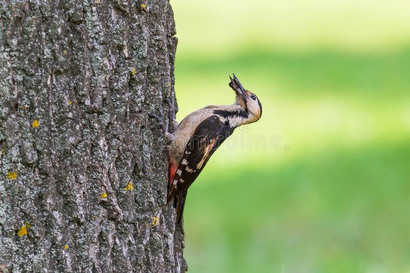 Close up of woodpecker eating some bug. On trunk of tree stock photo