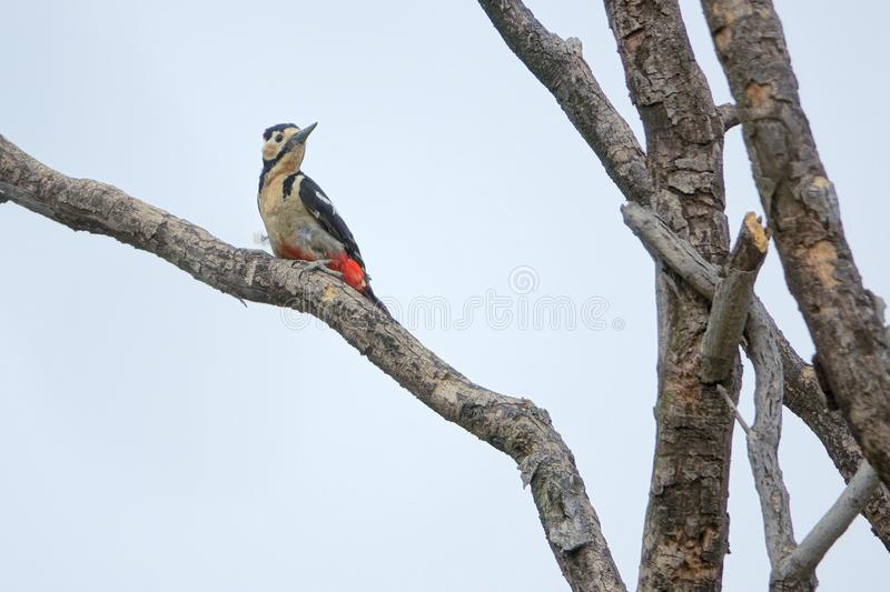 Woodpecker. The close-up of a Woodpecker stands on trunk. Scientific name: Dendrocopos major royalty free stock image