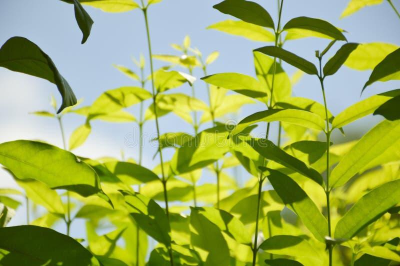 Wrightia religiosa tree in nature garden. Close up Wrightia religiosa tree in nature garden stock images