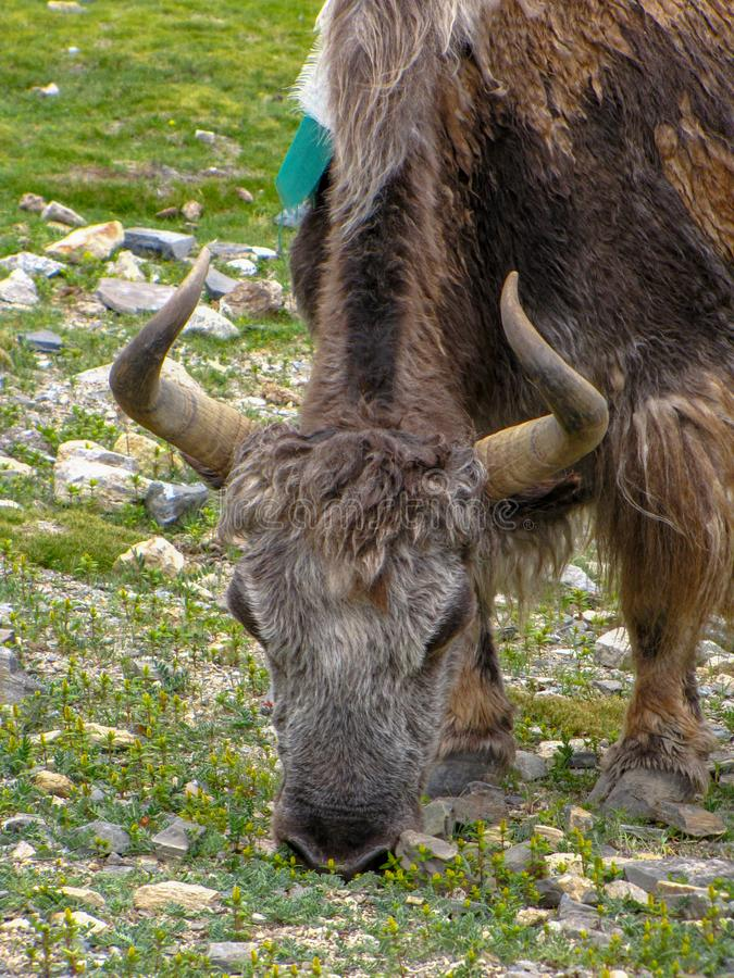 Close up of a yak, Rongbuk, Tibet, China. Brown yak grazing in a field scattered with stones, near Rongbuk monastery, Tibet, China royalty free stock image